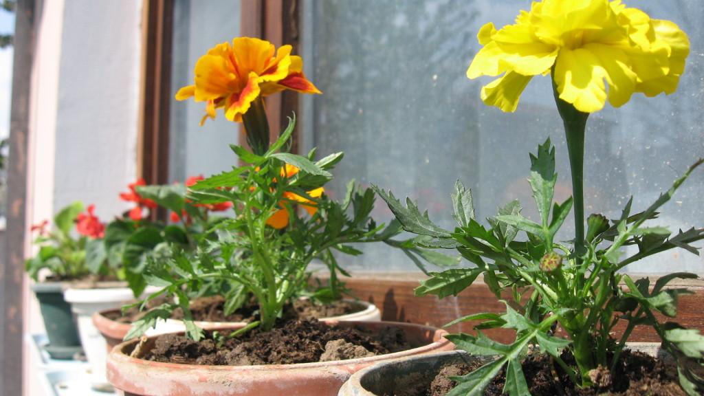 cvetići